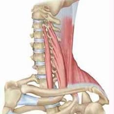 Scalene & Trapezius Muscles