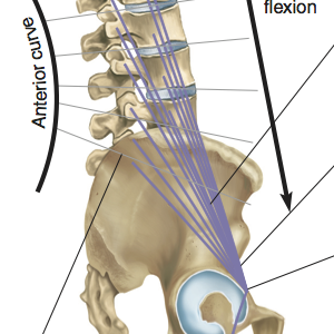 Psoas Muscle - Profile View